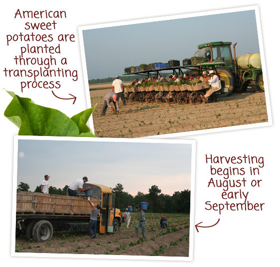 American sweet potatoes are planted through a transplanting process